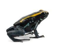 Golfodulcean Poison Frog, Phyllobates vittatus royalty free stock photos