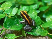 Golfodulcean poison frog (Phyllobates vittatus) stock image