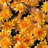 Golg chrysanthemum pattern. Vivid yellow chrysanthemum square pattern Stock Photo