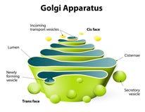 Golgi apparatur eller Golgi kropp stock illustrationer