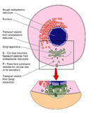 Golgi apparatus. Detail of cell structure showing the Golgi apparatus Stock Photography