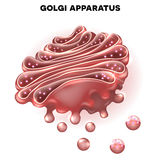 Golgi complex. Part of the eukaryotic cell. Detailed illustration Stock Photo