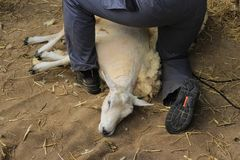 Goli cakla w stajence gospodarstwo rolne Obrazy Stock