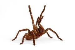 Goliat birdeater tarantula Fotografia Royalty Free