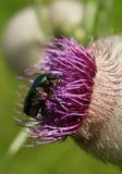 Goliath beetle Stock Photo