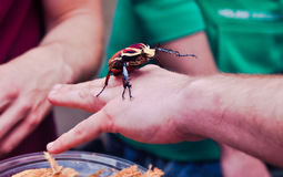 Goliath beetle on animal show Stock Photos
