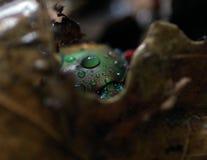 Goliath beetle Royalty Free Stock Photos