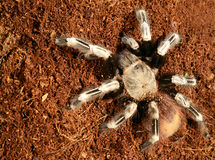 Free Goliath Bird Eater Spider Stock Photography - 46025332