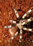 Goliath bird eater spider Stock Photo