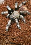 Goliath bird eater spider Royalty Free Stock Photos