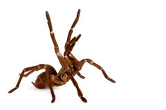 Goliath Bird Eater Tarantula Immagini Stock Libere da Diritti