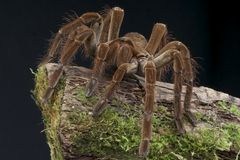 Goliath bird eating spider Royalty Free Stock Image