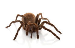 Goliath Birdeater Imagem de Stock Royalty Free