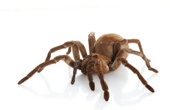 Goliath Birdeater Stockbild