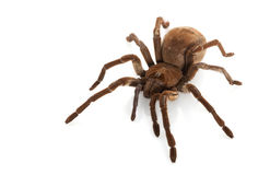 Goliath Birdeater Stock Photos