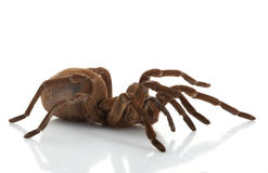 Goliath Birdeater Fotografia Stock