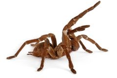 Goliath Birdeater Tarantula  Stock Photos