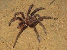 Goliath birdeater or tarantula Goliath found in Puerto Ayacucho Amazonas state Venezuela stock image