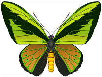 Goliath Birdwing butterfly. The vector drawing of the tropical butterfly. Ornithoptera goliath (lat Royalty Free Stock Photography