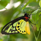 Goliath Birdwing Butterfly Royalty Free Stock Photos