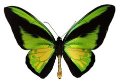 Goliath Birdwing Butterfly. Ornithoptera Goliath - the second-largest butterfly in the world Stock Images