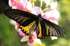Goliath Birdwing  butterfly (Omithoptera goliath). On pink orchid flowers Royalty Free Stock Image