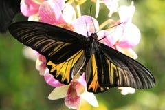 Goliath Birdwing fjäril (Omithoptera goliath) Royaltyfri Bild