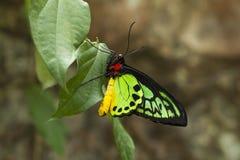 Goliath Birdwing, Ornithoptera Golia Fotografie Stock Libere da Diritti