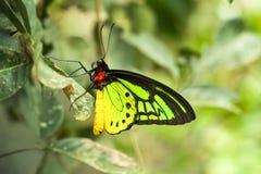 Goliath Birdwing, Ornithoptera Golia Immagine Stock Libera da Diritti
