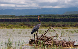 Goliath Crane, Lake Baringo. Crane, relaxing in the middle of Lake Baringo, Kenya Royalty Free Stock Photos