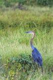 Goliath czapla w Mapungubwe parku narodowym, Południowa Afryka Fotografia Royalty Free