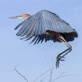 Goliath or Giant Heron Flying Stock Image