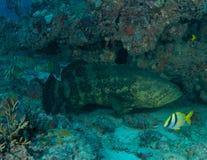 Goliath Grouper. (Epinephelus itajara) under a reef ledge in Boca Raton, Florida Stock Photography
