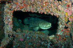 Goliath Grouper Stock Image