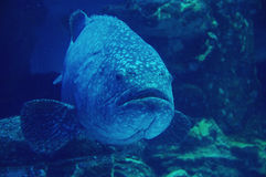 Goliath grouper Stock Photo