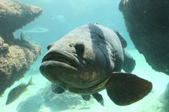 Goliath grouper Royalty Free Stock Photos