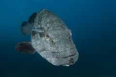 Goliath Grouper Stockfoto