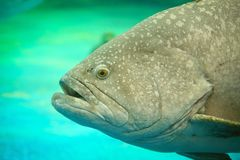Goliath Grouper atlantique Photographie stock libre de droits