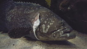 Goliath Grouper stock video footage