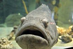 Goliath Grouper i akvarium royaltyfria bilder