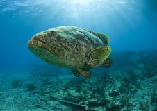 Goliath grouper in the light Stock Photo