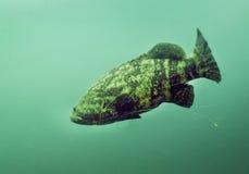 Goliath Grouper - linea di pesca involucro Immagini Stock Libere da Diritti
