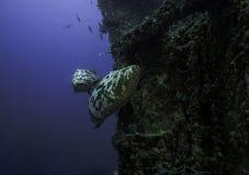 Goliath grouper na Spiegel Gaju w Kluczowym Largo Obraz Royalty Free