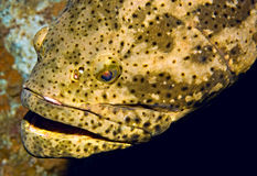 Goliath grouper portrait Stock Photography