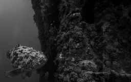 Goliath grouper on the Spiegel Grove in Key Largo Stock Photos