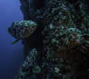 Goliath grouper on the Spiegel Grove in Key Largo Stock Images