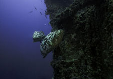 Goliath grouper on the Spiegel Grove in Key Largo Royalty Free Stock Image