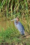 Goliath Heron Imagem de Stock Royalty Free
