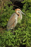 Goliath heron. Sitting in bush, side view Stock Images