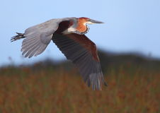 Goliath Heron Stock Image